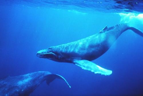 balena azzurra.2jpg.jpg