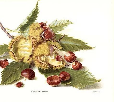 frutti di stagione: il castagno generoso (2)