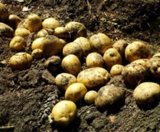 coltivazione-patate_324x268.jpg