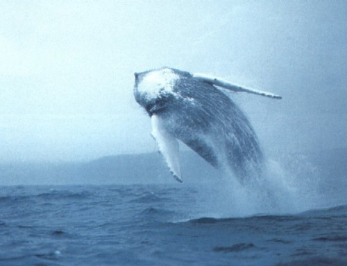 balena bianca1.jpg