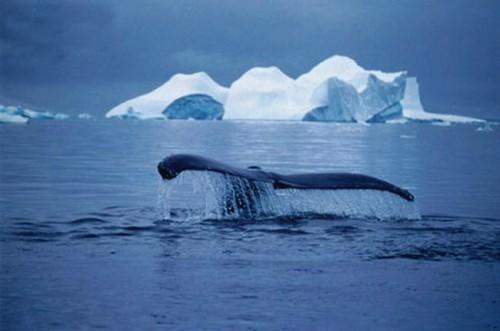 balena azzurra.jpg