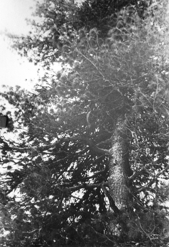 Dyatlov-pass-cedar-tree-02